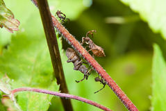 Coreus marginatus with the cubs Royalty Free Stock Images