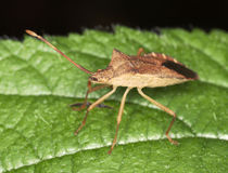 Coreus marginatus (dock) squash bug macro Royalty Free Stock Photo