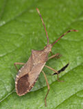 Coreus marginatus (dock) squash bug macro Royalty Free Stock Images