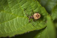 Coreus marginatus on green leaf_Lederwanze Royalty Free Stock Photo