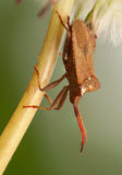 Coreus marginatus Stock Photo
