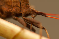 Coreus marginatus Stock Photos