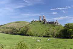 Corfe Castle with cows, Dorset Stock Image