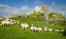 Corfe Castle. A wide view of Corfe Castle in Dorset in the UK, surrounded by fields with sheep grazing Stock Photography