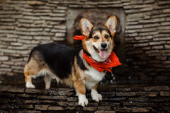 Corgi φυλής σκυλιών στοκ φωτογραφία με δικαίωμα ελεύθερης χρήσης