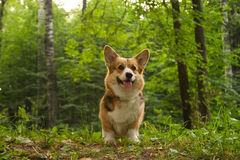 Corgi_13 Stock Photography
