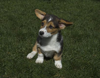 Corgi Royalty Free Stock Images