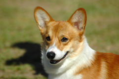 Corgi Royalty Free Stock Photos