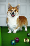 Corgi Royalty Free Stock Photography