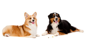 Corgi and Australian Shepard. Two dogs obediently ignore the treats on the floor left by their owners Royalty Free Stock Images