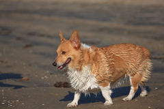 Corgi at the Beach Royalty Free Stock Images