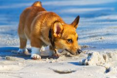 Corgi on the beach Stock Photography