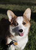 Corgi with a blue and brown eye smiling Royalty Free Stock Photos