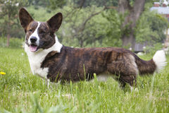 Corgi cardigan Royalty Free Stock Photography