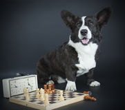 Corgi cardigan Royalty Free Stock Images