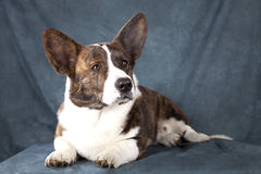 Corgi cardigan Stock Photography