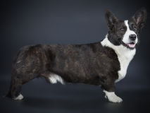 Corgi cardigan Royalty Free Stock Image