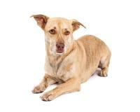 Corgi and Chihuahua Crossbreed Laying Royalty Free Stock Photo