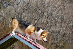 Corgi Coming Down A-frame. Pembroke welsh corgi starts the A-frame descent while playing agility Stock Photo