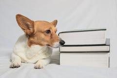 Corgi curieux se reposant à côté des manuels Image libre de droits