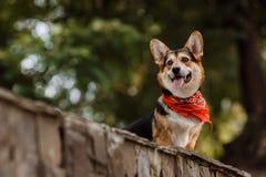 Corgi de chien Image libre de droits