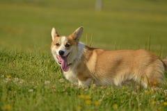 Corgi de chiot Jeune chien énergique sur une promenade Éducation de chiots, cynology, formation intensive de jeunes chiens Crabot photo stock
