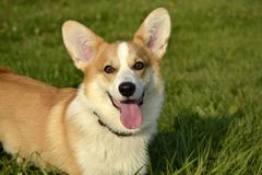 Corgi de chiot Jeune chien énergique sur une promenade Éducation de chiots, cynology, formation intensive de jeunes chiens Crabot image libre de droits
