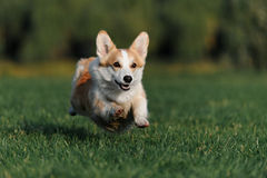Corgi de Gallois Photo stock