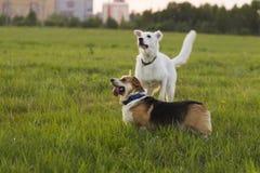 Corgi de Gallois et chien de berger suisse sur un fond des gras verts Photo libre de droits