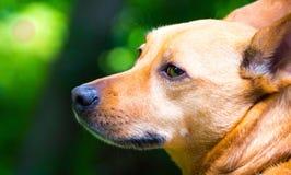 Corgi de ojos verdes Imagenes de archivo
