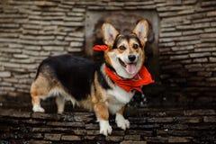 Corgi de race de chien Photographie stock libre de droits