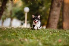 Corgi de race de chien sur l'herbe Photos stock