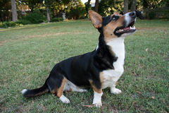 Corgi di Lingua gallese (cardigan) Immagine Stock