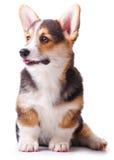 Corgi di Lingua gallese della razza del cane, Pembroke Fotografia Stock