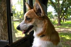 Corgi die uit venster kijkt stock afbeeldingen