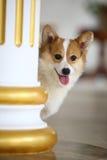 Corgi dog. A young corgi dog,indoors royalty free stock photography