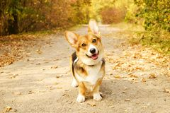 Corgi dog having fun and playing outside in park on beautiful fall afternoon. royalty free stock photo