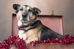 Corgi dog looking annoyed sitting among tinsel stock images