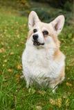 Corgi dog portrait Royalty Free Stock Photos