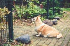 Corgi dog portrait Stock Photos