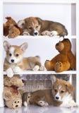Corgi dog Royalty Free Stock Photography