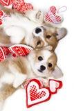 Corgi dog Royalty Free Stock Images