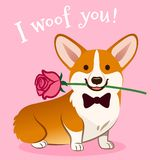 Corgi dog with rose flower in mouth Valentine`s day card vector cartoon. Cute sitting corgi puppy on pink background. Funny. Humorous love, pets, animals royalty free illustration
