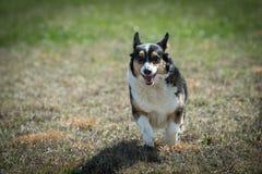 Corgi dog running in grass Royalty Free Stock Image