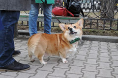 Corgi dog at Saint Patrick`s Day celebration in Moscow Royalty Free Stock Photo