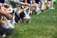 Corgi dog show. Corgi dogs and handlers at the dog show stock photography