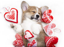 Corgi dog sleep in each other's arms Stock Photo