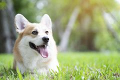 Corgi dog smile and happy on the grass. In summer sunny day royalty free stock images