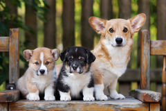 Corgi dog with two puppies. Welsh corgi pembroke dog and puppies outdoors royalty free stock photography