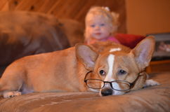 Corgi dog wearing reading glasses with toddler in background Royalty Free Stock Photo